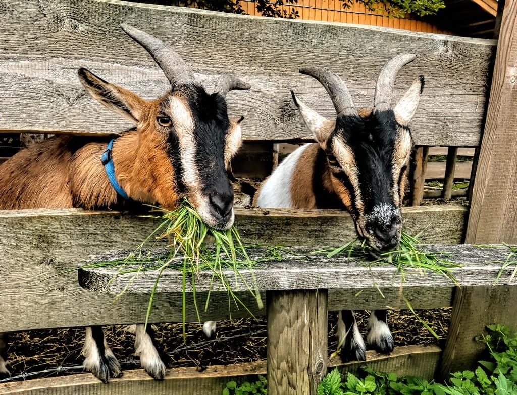 Feeding the Goats by ludwigsdiana