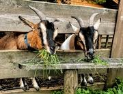 30th Jul 2019 - Feeding the Goats