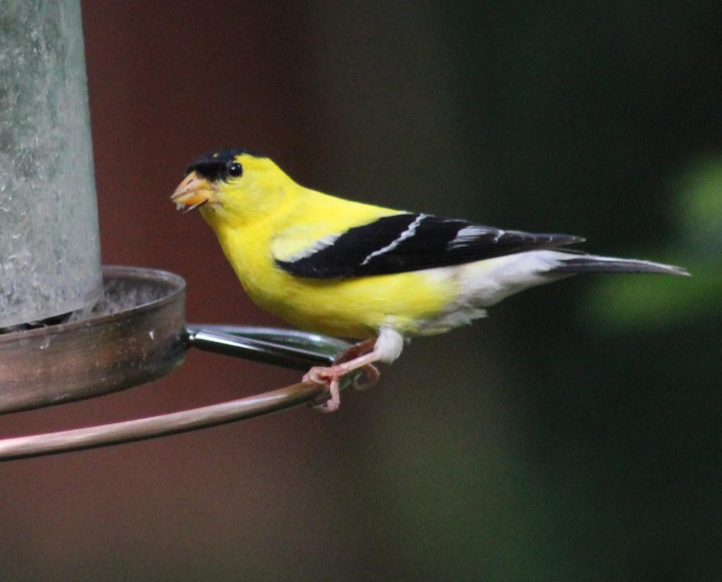 Mr. Goldfinch by cjwhite