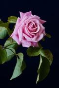 30th Jul 2019 - The Last Rose Of The Season_DSC7856
