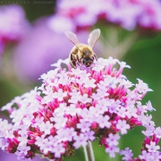 29th Jul 2019 - bee in the pink