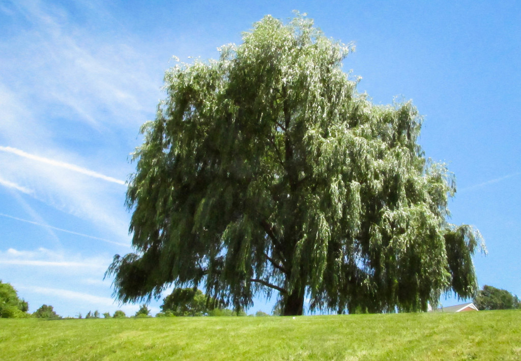 Weeping willow by mittens