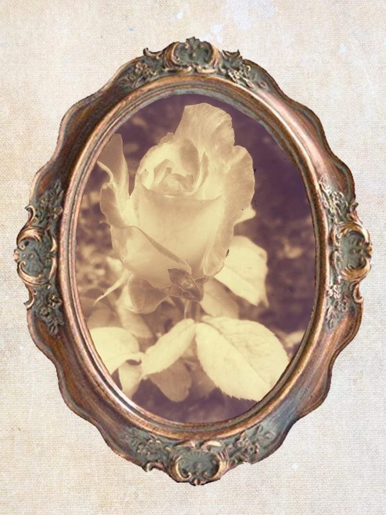 19th Century Rose by shutterbug49