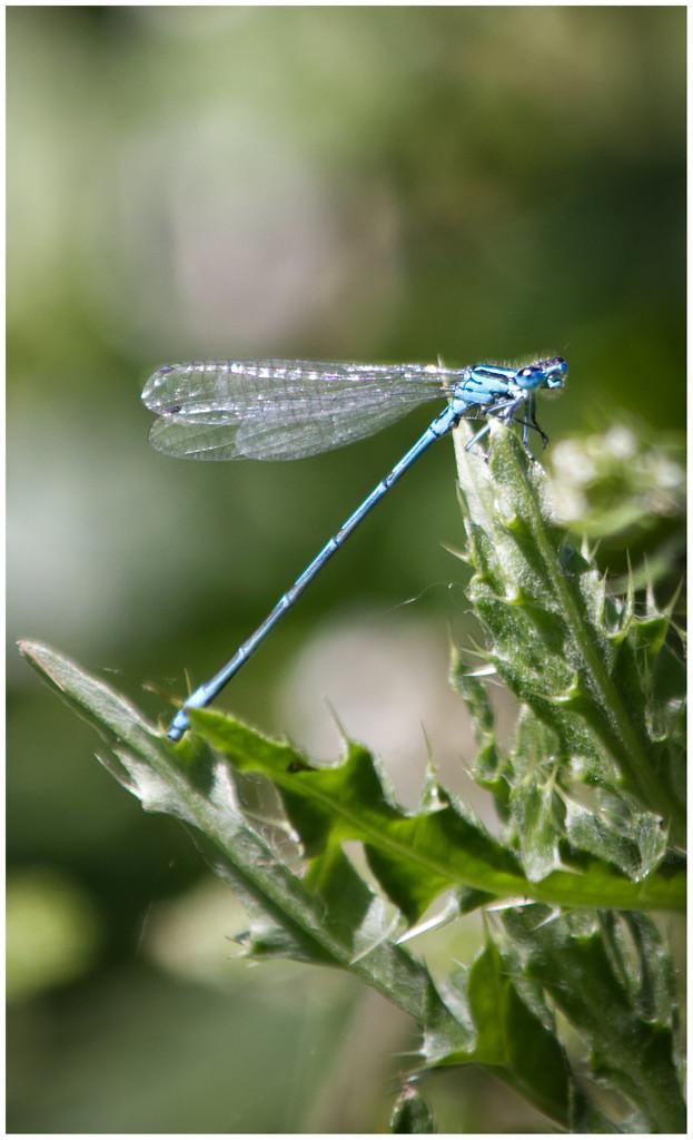A damsel fly by mave