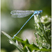 A damsel fly by mave