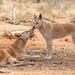 Dingo Love