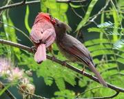 30th Jul 2019 - Finally, A Baby Cardinal