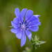 Hello Chicory, my old friend! by lindasees