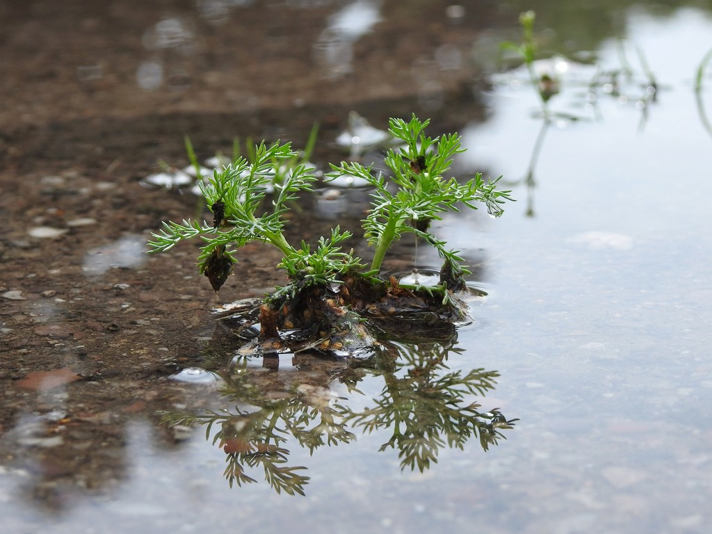 Plant in a Puddle by roachling