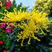 Starburst Chrysanthemum. by tonygig