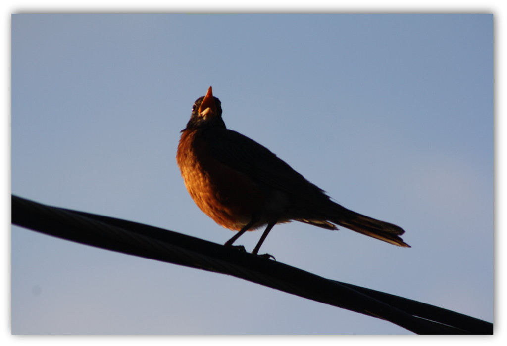 Greeting the morning sun with his song  by bruni
