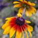 Cornflower by pcoulson