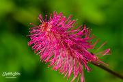 31st Jul 2019 - Pink flower