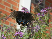 30th Jul 2019 - Blue and Black Butterfly