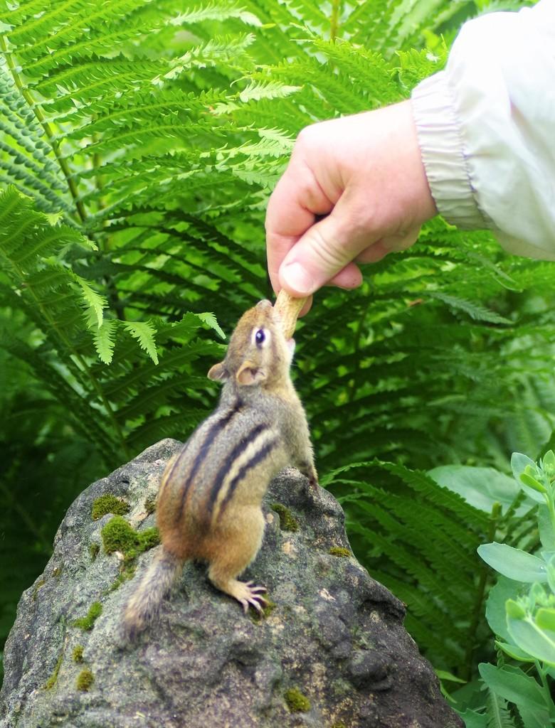 Chipmunks love their Peanuts by radiogirl