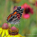 Painted Lady by grannysue