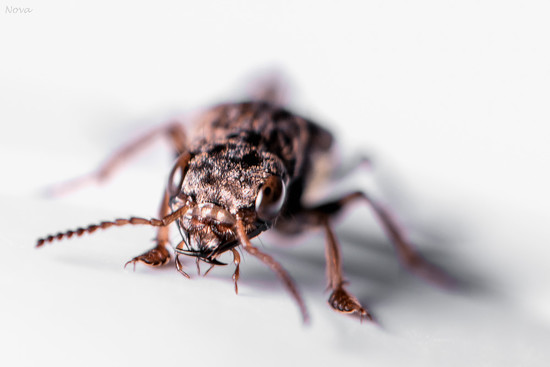 Gold-and-brown rove beetle by novab