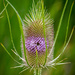 Teasel by lindasees