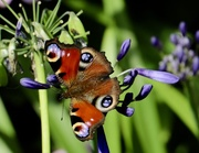 1st Aug 2019 - Peacock Flutterby!