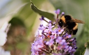 1st Aug 2019 - Busy Bee