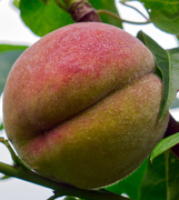 1st Aug 2019 - Peach.