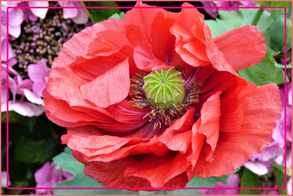 The last of the poppies by beryl