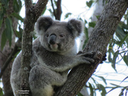 31st Jul 2019 - counting koalas