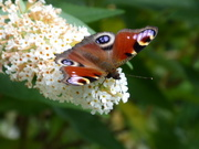 1st Aug 2019 - Peacock butterfly...