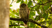 1st Aug 2019 - Barred Owl Getting Ready for Night Time!