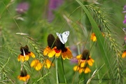 1st Aug 2019 - Checkered White Butterfly on Coneflower
