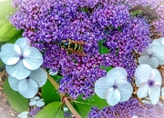2nd Aug 2019 - Hydrangea and wasp