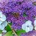 Hydrangea and wasp by ludwigsdiana