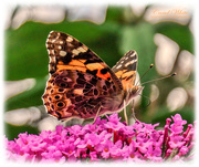 2nd Aug 2019 - Painted Lady Butterfly