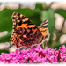 Painted Lady Butterfly by carolmw
