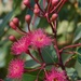 The Eucalypts Are Coming Into Blossom _DSC7943 by merrelyn