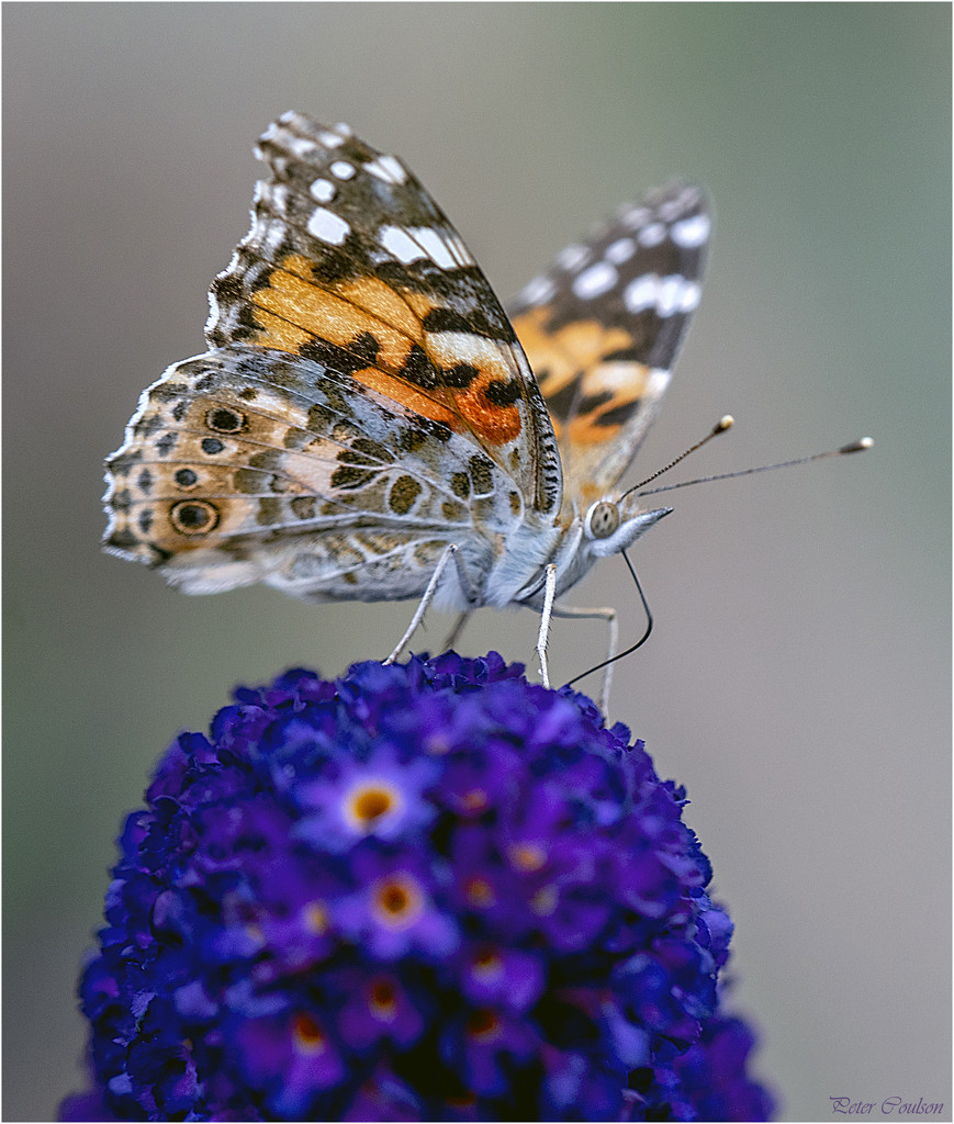 Painted Lady by pcoulson