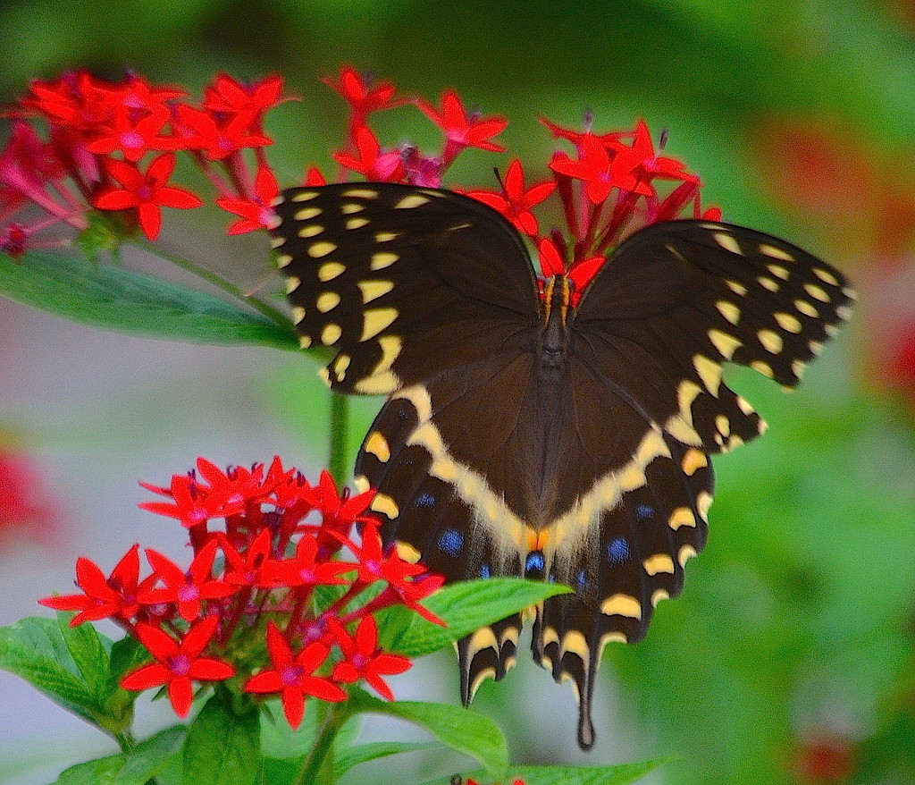 Palamedes swallowtail butterfly by congaree