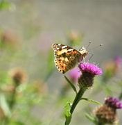 2nd Aug 2019 - Butterfly and thistle......
