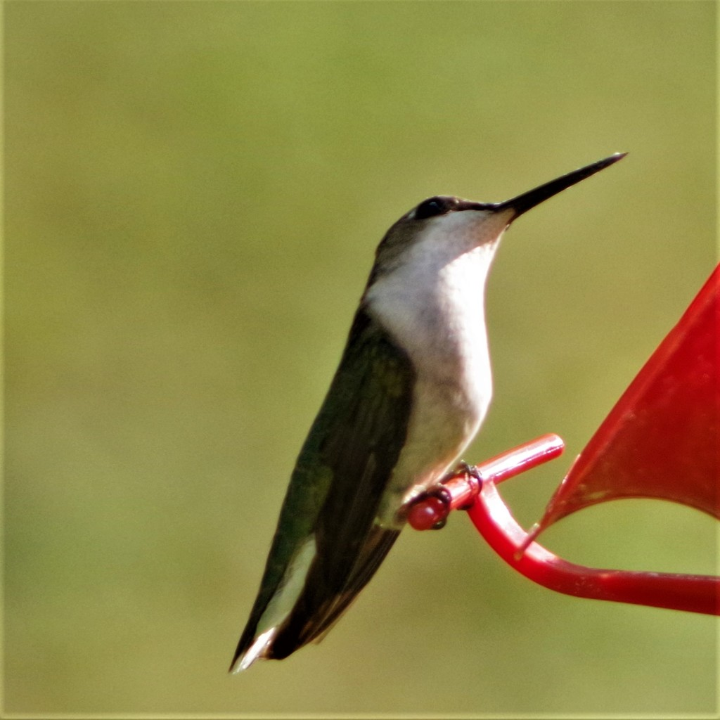 Female Ruby-throated Hummingbird  by radiogirl