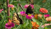 2nd Aug 2019 - Black & yellow butterflies