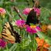Black & yellow butterflies by randystreat