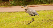 2nd Aug 2019 - Blue Heron Trying to Get Away From the Guy in the Car!