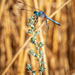 Blue dragonfly by lindasees