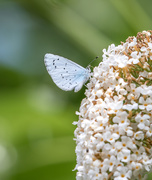 2nd Aug 2019 - Holly Blue