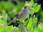 3rd Aug 2019 - White-Crowned Sparrow