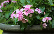 3rd Aug 2019 - Pretty pink flowers