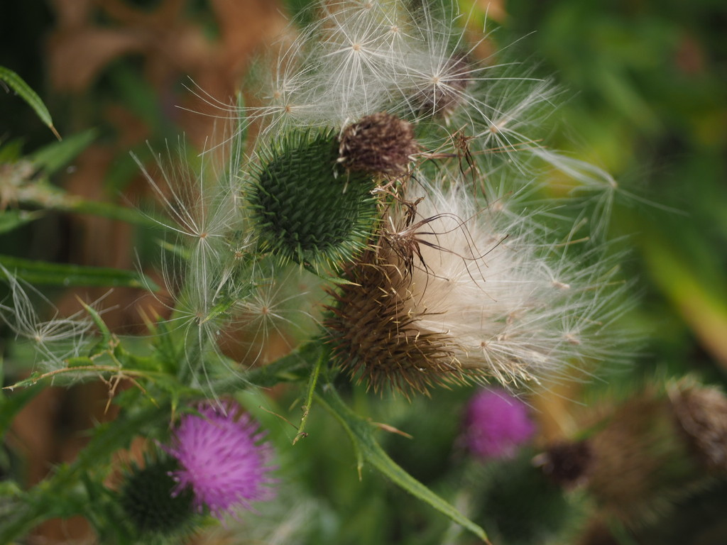 Thistle by jacqbb