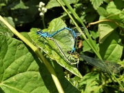 31st Jul 2019 - Blue Damselflies