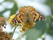 2nd Aug 2019 - Painted Lady