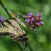 Swallowtail by marylandgirl58